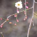 写真: 咲き始めた枝垂れ梅