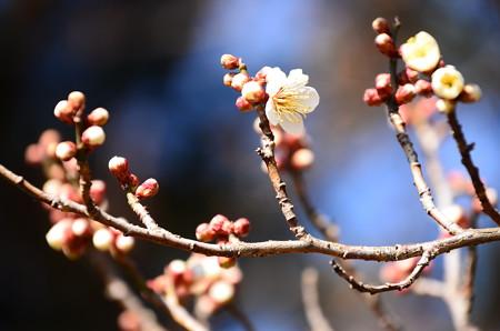 梅林の白梅