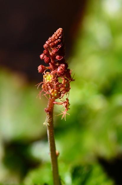 紅葉哨吶草(モミジチャルメルソウ)