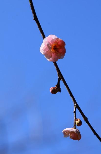 藤牡丹枝垂(フジボタンシダレ)