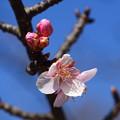 写真: 咲き始めた河津桜(カワヅザクラ)