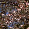 Photos: 冬桜(フユザクラ)?