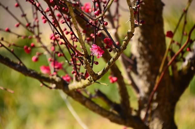 咲き始めの紅梅