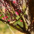 写真: 咲き始めの紅梅