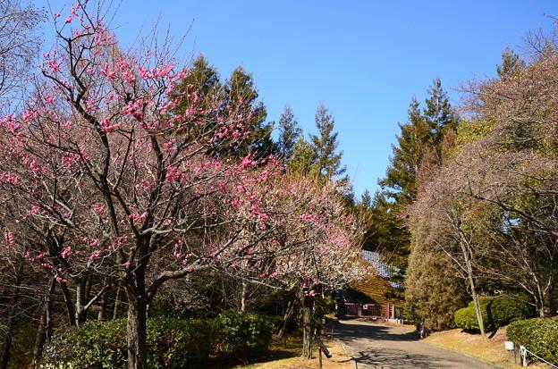 梅咲く宇治市植物公園