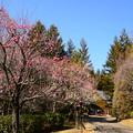 写真: 梅咲く宇治市植物公園