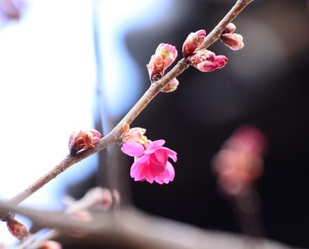 半分開いた寒緋桜
