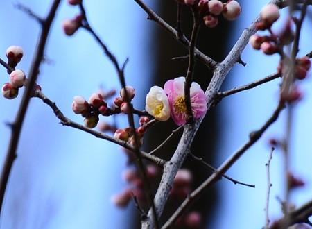 咲き始めた「思いのまま」