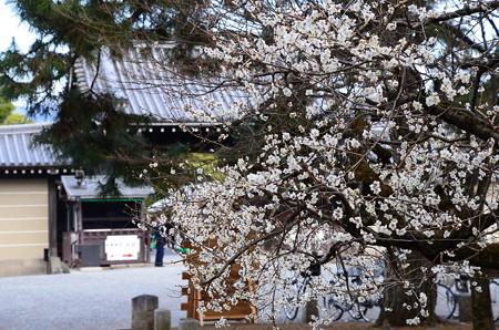京都御所向かいの白梅