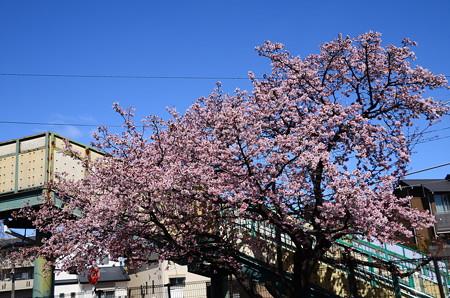 JR桃山駅の寒桜