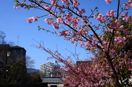 淀の河津桜