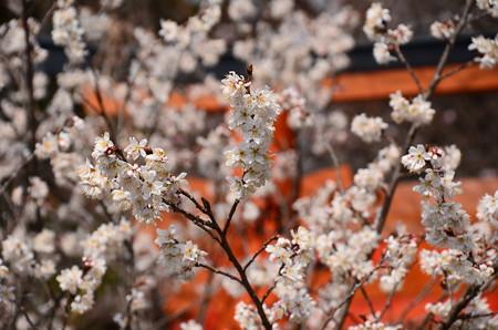 平野神社の桃桜が満開~