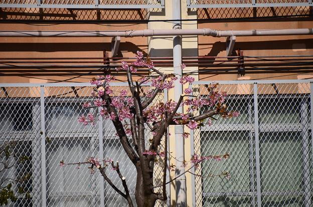 明親小学校の桜