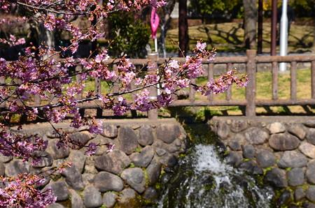 公園脇の河津桜