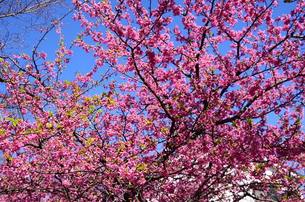 赤味を帯びた河津桜