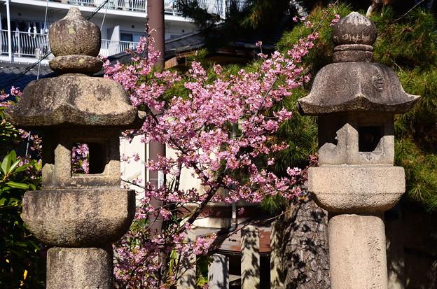 與杼(よど)神社の河津桜