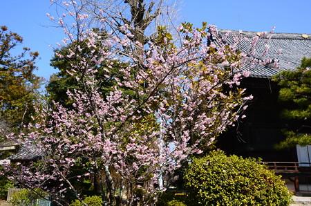 知恩寺の早咲き桜