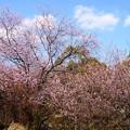 初御代桜(ハツミヨザクラ)