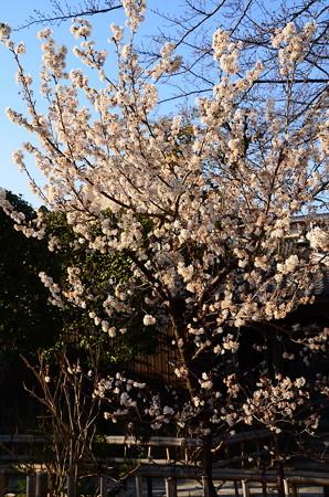 唐実桜はもう盛りすぎに、、、