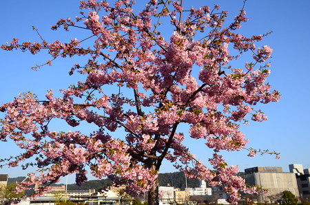 三条大橋南西の河津桜