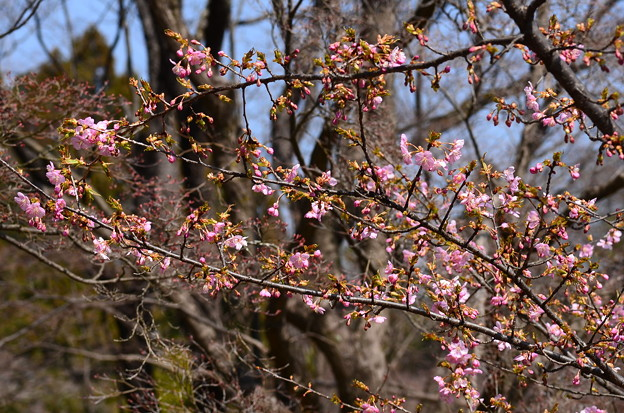 ちらほら咲きの河津桜(カワヅザクラ)