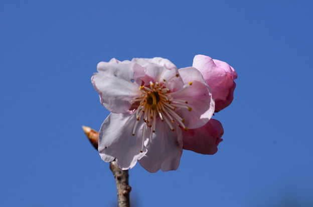 椿寒桜(ツバキカンザクラ)