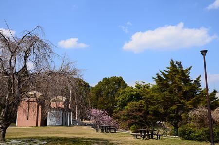 初御代桜咲く皇子が丘公園
