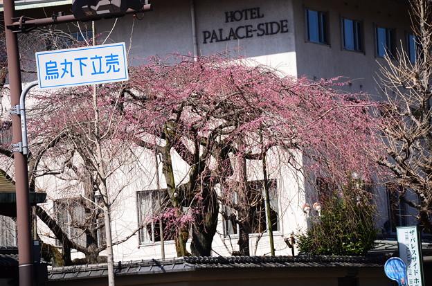 有栖館の枝垂れ桜