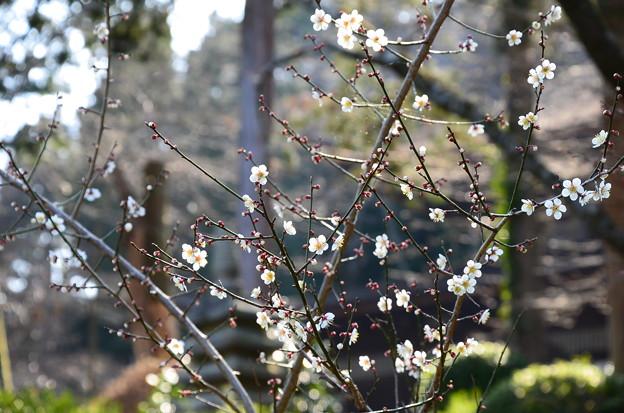 三井寺の梅