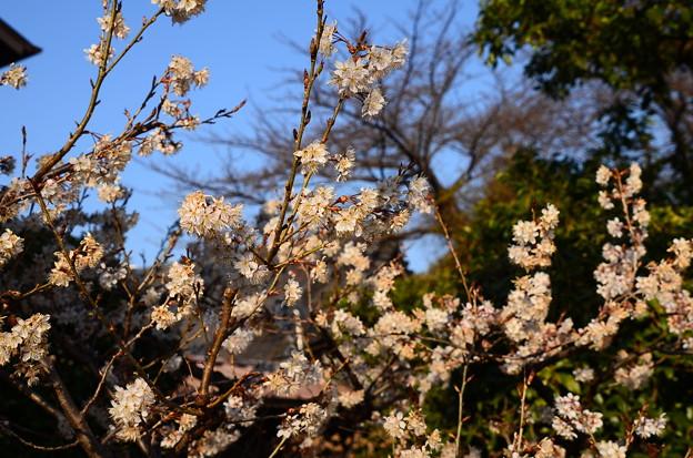 法林寺の唐実桜(カラミザクラ)