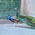 写真: インド孔雀