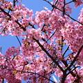 満開の河津桜(カワヅザクラ)