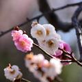写真: 源平咲きの梅