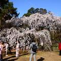 近衛池脇の糸桜