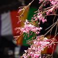 咲き始めた八重紅枝垂れ