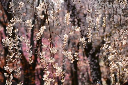 糸桜(イトザクラ)