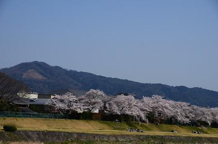 賀茂川の桜と大文字