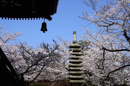 妙顕寺の染井吉野