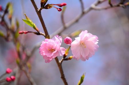 妙覚寺門脇の桜 2