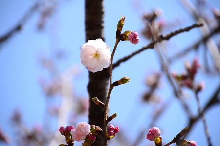 妙覚寺門脇の桜 1