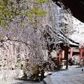 桜の六角堂
