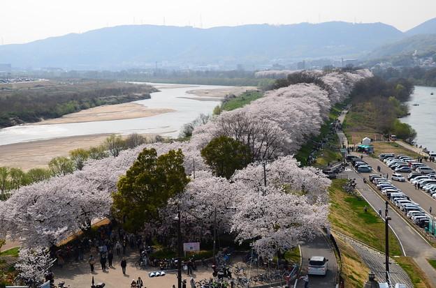 さくらであい館からの桜風景