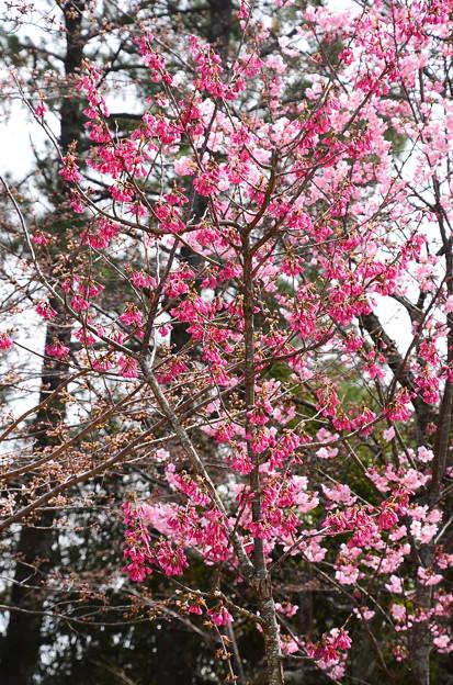 寒緋桜と陽光