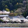 桜の中の法輪寺