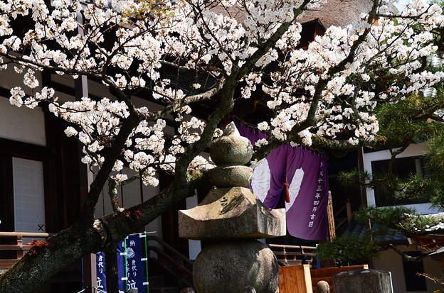 清浄華院の染井吉野