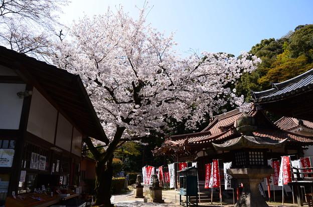 Photos: 桜散る宝積寺