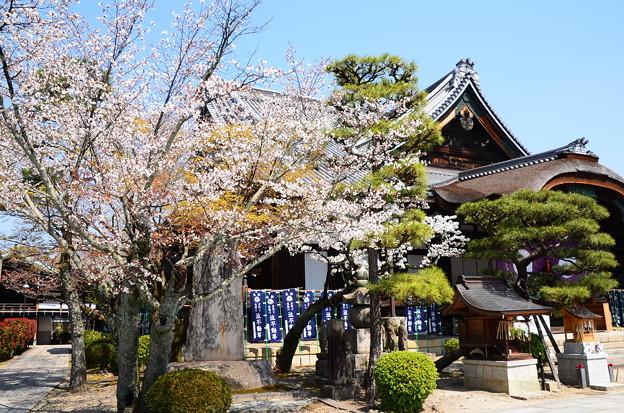 清浄華院の櫻風景