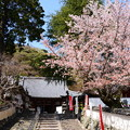 Photos: 満開の山桜