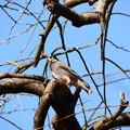 椋鳥(ムクドリ)