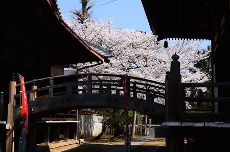 妙顕寺の桜風景
